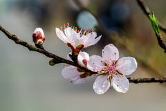 Very nice mountainous peach blossoms Stock Image