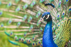 Very nice Peacock Stock Photography