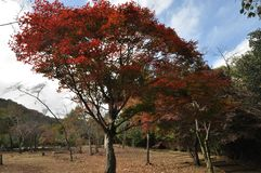 True Red Autumn Leaves Tree royalty free stock photos