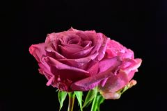 Very nice rose close up in the sunshine royalty free stock images