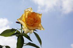 Nice rose Royalty Free Stock Photography