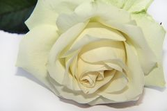 Very nice rose on the white backgraund stock image