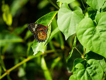 Very nice striped colorful butterfly showing her beautiful wing. Very nice striped colorful butterfly showing her beautiful wing on the green leaf Royalty Free Stock Image
