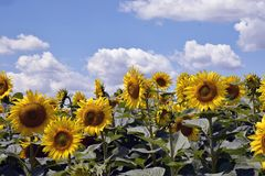 Beautiful sunflowers field at my home stock images