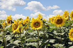 Beautiful sunflowers field at my home stock image