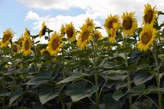 Beautiful sunflowers field at my home royalty free stock photography