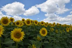 Beautiful sunflowers field at my home stock photography