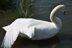 Very nice swans on the small river stock photo