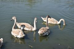 Very nice swans on the small river stock photography