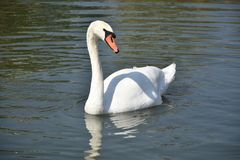 Very nice swans on the small river stock photos