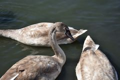Very nice swans on the small river royalty free stock photos