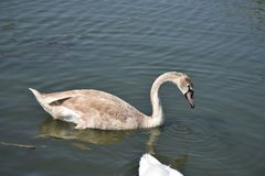 Very nice swans on the small river royalty free stock photography