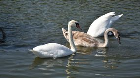 Very nice swans on the small river royalty free stock images