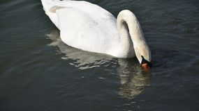 Very nice swans on the small river stock image