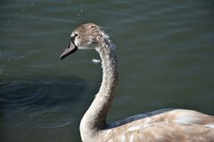 Very nice swans on the small river stock images