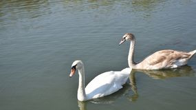 Very nice swans on the small river royalty free stock image