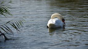 Very nice swans on the small river royalty free stock photo