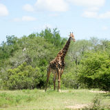 Very nice very happy giraffe pretend to walk. In a lush in a lush stock photography