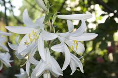 Very pretty white lilly in my garden Royalty Free Stock Photo