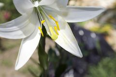 Very nice white lilly in my garden royalty free stock images