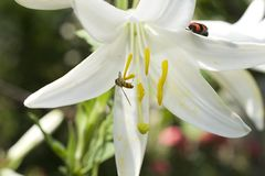 Very nice white lilly in my garden stock photography