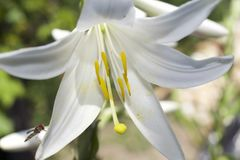 Very nice white lilly in my garden stock images