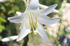 Very nice white lilly in my garden royalty free stock photo