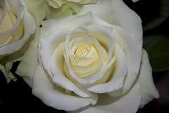 Very white rose close up stock photos