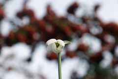 Free Very Nice White Spring Flowers In January Stock Photography - 107827332