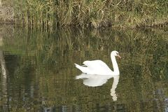 Nice white swans on the small river Royalty Free Stock Photo