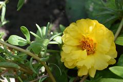 Nice yellowl summer flower close up in my garden Royalty Free Stock Photography