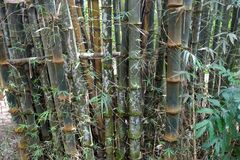 Very Old Bamboo Forest. View of the very old bamboo trees in the forest of south Vietnam Stock Photography