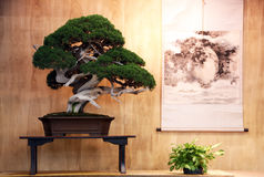 Very old bonsai Royalty Free Stock Image