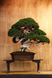 Very old bonsai. Bonsai Juniperus chinensis `Giaponne` on the terrace in the Japanese style. Juniperus chinensis is a popular species of conifers that are Stock Image