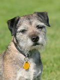 Very old Border Terrier in a garden Royalty Free Stock Image
