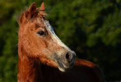 Very old chestnut pony portrait Royalty Free Stock Images