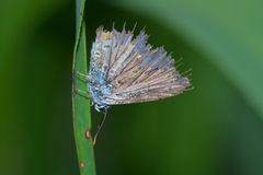 Very old common blue butterfly (Polyommatus icarus) with damaged wings resting on a leaf of grass Royalty Free Stock Photo