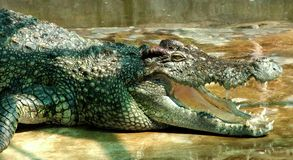 Very old crocodile royalty free stock photography