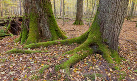 Very old deciduous stand in autumn Royalty Free Stock Photography