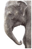 Very old elephant. Head and knees shot over white royalty free stock photo