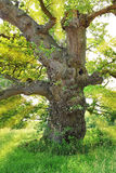 Very old gnarled oak tree, back lighted Royalty Free Stock Photo