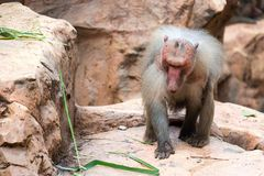A very old grumpy hamadryas baboon while sitting and eating royalty free stock photography