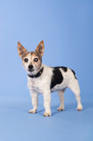 Very Old Jack russel Royalty Free Stock Image