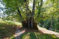 Very old linden tree in upper bavaria germany stock photos