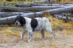 Very Old Llewellin Setter Bird Dog In Field. A very old Llewellin Setter bird dog in a field royalty free stock photo