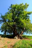 Very old linden tree in upper bavaria germany royalty free stock image