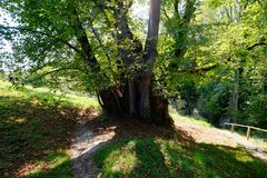 Very old linden tree in the garden of a monastery. Very old and more than hundred years old linden tree in germany royalty free stock images