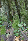 Very old moss wrapped hornbeam tree trunk closeup Royalty Free Stock Photos