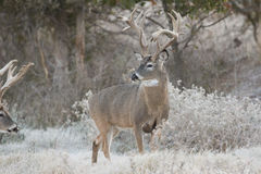 Very old non-typical whitetail buck on a frosty morning Royalty Free Stock Image