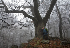 Very old oak in the fog stock photos